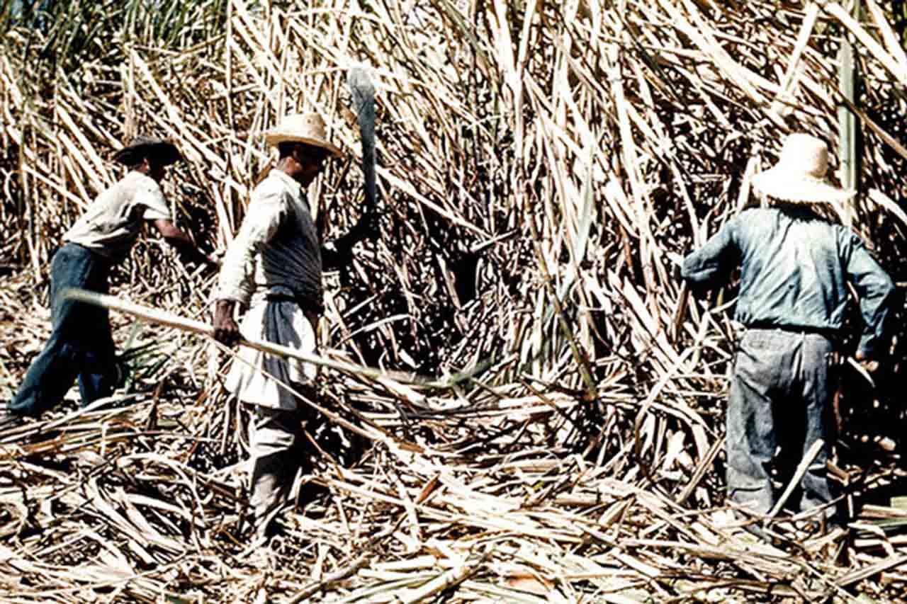 trzcina cukrowa - proces wycinania